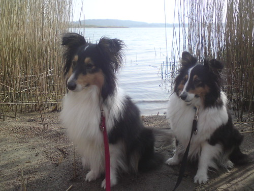 Shelties an der Schlei