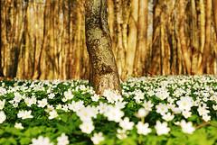 Buschwindrschen (trashpics) Tags: gelb april grn rgen wald boden weis