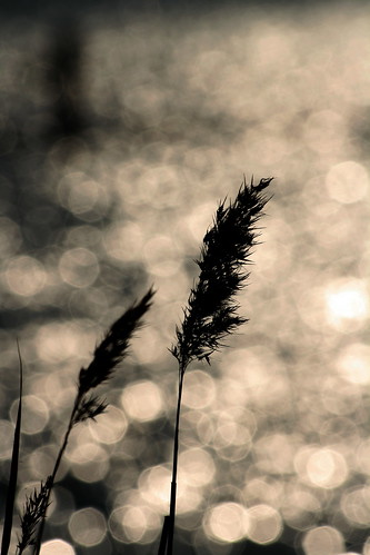 Reeds (by niklausberger)