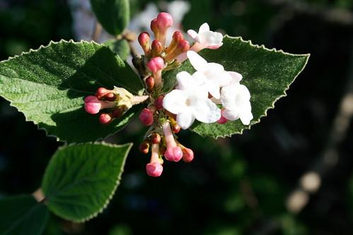 juddii viburnum
