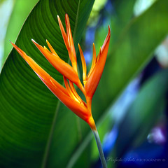 """Tropicali""- A blaze of cheerful tropical colour from my world to  yours. (Ingrid Douglas Images - ART in Photography) Tags: searchthebest heliconia gingers tropicalflowers australianflora tropicalcolours cffa perfectoarts cliqueforfriendsandartists ingridinoz"