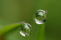Dewdrops in the grass (Lord V) Tags: macro water grass dewdrop refraction