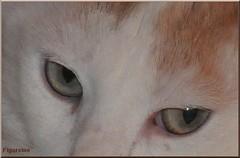 Mon premier vu de bon dimanche pour vous tous ... (Figareine- Michelle) Tags: chat yeux