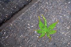 Spring in NYC (ManicMaurice) Tags: nyc newyorkcity ny newyork green concrete leaf spring manhattan 34thstreet crack midtown sidewalk handheld trampled seam 34th crushed