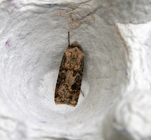 Heart & Club (Agrotis clavis)
