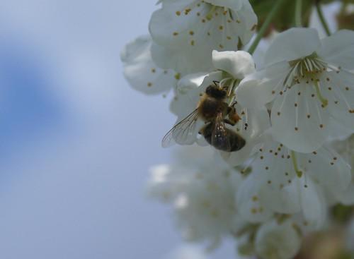 Abeille dans le cerisier
