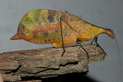 Leptoderes cf. ornatipennis (Tettigoniidae, Phaneropterinae)