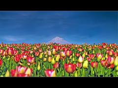 Tulip Festival 11 - HDR (David Gn Photography) Tags: flowers oregon tulips mounthood hdr tulipfestival woodburn woodenshoetulipfarm photomatix aplusphoto flickraward platinumheartaward trueessence grouptripod canonpowershotsx1is platinumbestshot