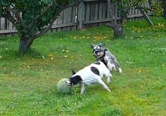 Lottie chasing Flynn chasing the ball