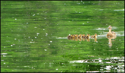 Mama duck with ducklings on green lake