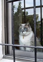 Behind Bars (katiemetz) Tags: pet reflection window cat ventana bars gato reflejo cocoa mascota rejas