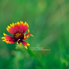 lone wildflower (simis) Tags: red wild flower green art lines yellow bokeh f14 utata photowalk inspirational isolated inspiks fromarchives almostsooc utata:color=black utata:enddesc= utata:startdesc= utata:project=tw162