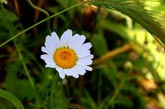bahar geldi de geiyor.. (nilgun erzik) Tags: istanbul bahar yeil papatya fotografkraathanesi fotografca biyerlerde mays2009