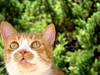 Goldie (mikado player) Tags: cats pets animals greeneyes goldie onephotoweeklycontest