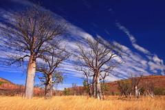 Sentinels of the West (ozroadwarrior) Tags: trees landscape northwest australia outback kimberley wyndham kununurra boabs