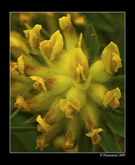 Anthyllis vulneraria (Alpen - Wundklee) (Thomaniac) Tags: plant alps flower macro closeup canon eos natur pflanze alpen nahaufnahme efs60mmmacro lens00025 450d thomaniac