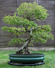 Chinese Elm Bonsai (thephiltrum) Tags: old tree canon 350d bonsai 24105l chineseelm