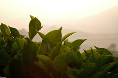 tea5 (jasonlouphotography) Tags: nature sunrise cameronhighlands sgpalas