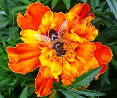 Bee in Marigold
