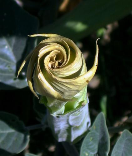 Datura Bloom 2