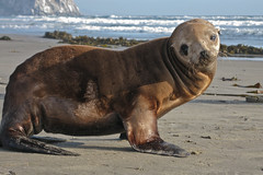 1 of 5 Distressed Sea Lion Pup Morro Strand (mikebaird) Tags: california sea abandoned beach water strand mammal bay sand lion seal morrobay pup sealion distressed morro injured morrostrand californiasealion motherless malnurished 29june2009