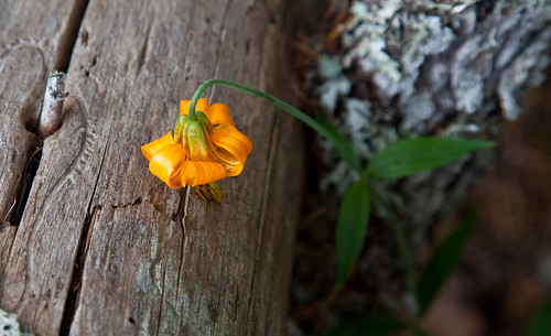 Tiger Lily on Wood