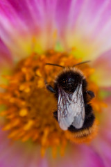 Versailles (MissDogo) Tags: paris macro fleur versailles abeilles insectes bourdon proxyphoto hym hyménoptères hymnoptres