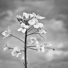 Landing (channel one) Tags: flower bug digilux2 digilux rapeseed