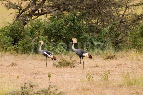 Uganda Birding Safari Special, Birdlife in Uganda- 10 Days 9 Nights