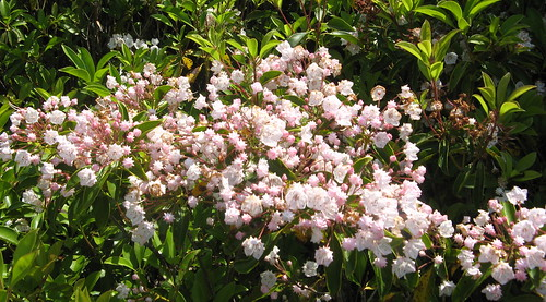 Bunch of mountain laurels