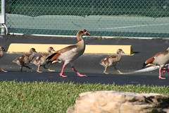 Adult Egytian Geese (1 male, back of one female) and 4 of 8 chicks (mauricholas/ Maureen Leong-Kee) Tags: goslings southflorida egyptiangoose babygeese bocaratonfl egyptiangeesechicks