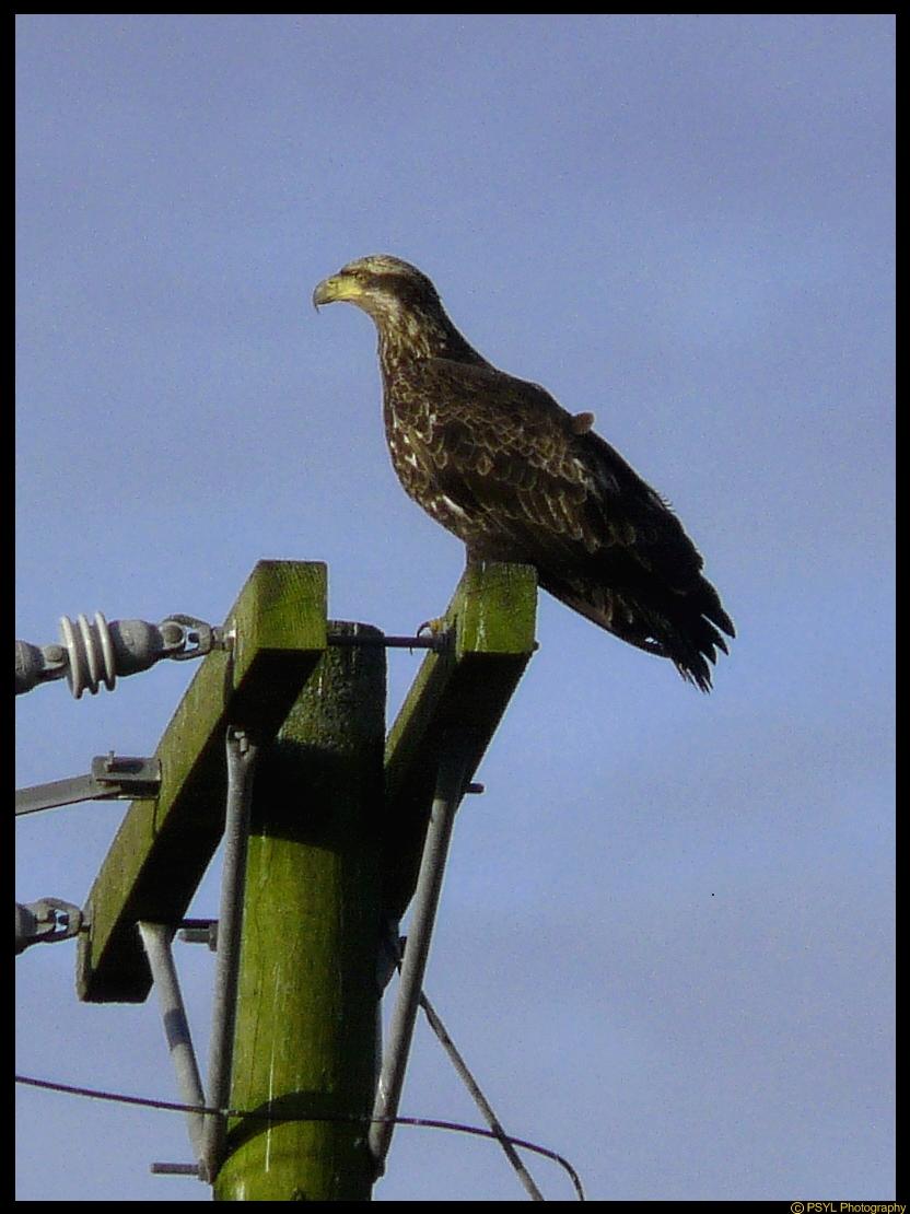 Juvenile Bald Eagle (Haliaeetus leucocephalus)
