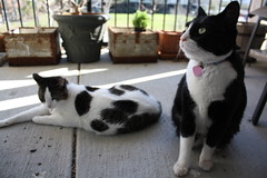 Lucy and Lily Sitting Outside on Porch (jsebooth) Tags: cats cute animals kitties