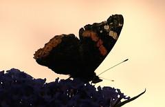 Alla (Giorgio___) Tags: shadow alps flower macro silhouette butterfly 50mm sterreich olympus ombre redadmiral f2 fiore alpi schatten zuiko giorgio farfalla e510 vanessaatalanta zd supershot valpusteria sillian 50mm20macro quattroterzi olympuse510 ec20 naturescreations