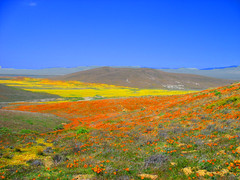 Antelope Valley Poppy Preserve (Rennett Stowe) Tags: california unitedstates valley poppy poppies lancaster wildflowers antelopevalley yellowflowers blooming californiapoppies californiavalley californiawildflowers orangeflowers lancastercalifornia beautifulvalley flowersandsky fieldsofwildflowers antelopevalleycalifornia wildflowersinbloom californiaspringwildflowers wildflowervalley unitedstateswildflowers wildflowersinavalley wildflowersinbloominavalley wildflowersinspring actiondaisies endlesswildflowers