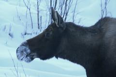 moose (Beverly Demientieff) Tags: snow northpole winteralaskamoose