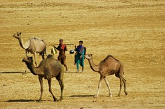 3 by 2. (Lucky-S) Tags: india rural landscape desert ethnic camels herd nomads gujarat herdsmen nomadic kutch kachchh thepca pcog chharidhand pcogmeet10
