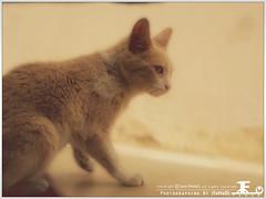 Cat is meditating ({FaHaD} | Never rent your mind!) Tags: cat محمد قطوة قطه فهد قطة بسة قطوه بسه