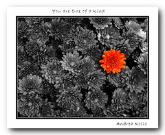 One of a Kind (Andrea Kollo Photography) Tags: flowers blackandwhite bw toronto ontario flower color nature colors gardens garden countryside mums outofthisworld selectivecolor selectivecolour awesomeshot gardentour gardentours colorfulflowers naturephoto flowerphotography blackwhitephotos kingtownship colourfulflower andreakollo springhillphotography allaboutflowers exquisitecapture colourizedflowers colourizedflower mostbeautifulpictures