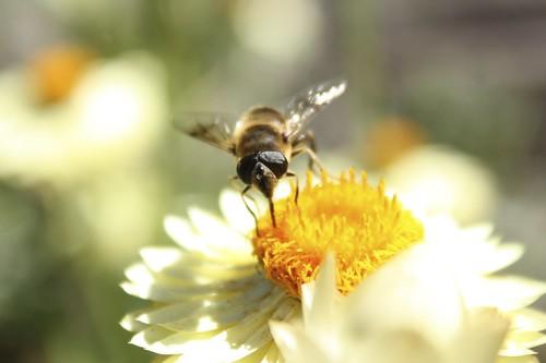 Worker Bee, From FlickrPhotos