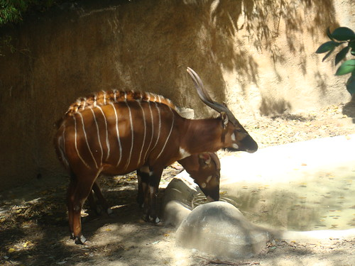 Mountain Bongos at the Los Angeles Zoo