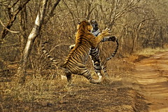 ADS_00000277 (dickysingh) Tags: travel wild india color nature animal fight outdoor stripes wildlife tiger anger bigcat jungle aditya angry violence aggression fighting aggressive predator rajasthan ranthambore singh v