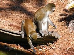 dhh bg (dmathew1) Tags: tampa florida lowryparkzoo babywhitetiger babymandrill babyorangatun babycolobusmonkey babyguenon