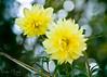 Two (MIRANDA, Bruno) Tags: flowers two flores macro nature brasil natureza 100mm verdeeamarelo f28 pará amazônia greenandyellow brunomiranda