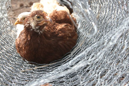 chickens like chicken wire
