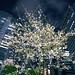ビル谷間の夜桜