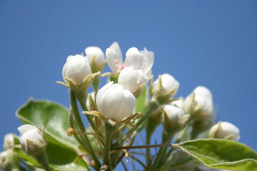 frühling09 birnenbaumblüte03