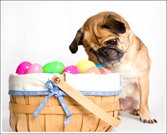 Yoda Tries His Jedi Mind Tricks on the Easter Eggs ([Christine]) Tags: dog easter yoda pug jedi eggs blueribbonwinner mindtricks yearofholidays