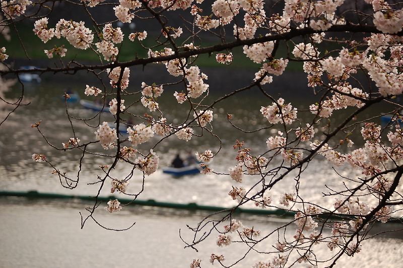 _cherry_blossom-5_