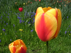 Sweet Lovers Love The Spring. (davidezartz) Tags: greatbritain flowers blue light shadow red orange brown macro green love nature grass sunshine birds yellow petals spring nikon pretty tulips time sweet pages earth shakespeare lovers ring sing poet british soe stalks spr